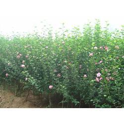 亿发园林 木槿树苗-河北木槿图片