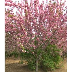 长沙樱花苗-樱花苗多少钱-亿发园林苗木图片