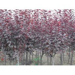 亿发园林中心 紫叶李苗供应-紫叶李苗图片