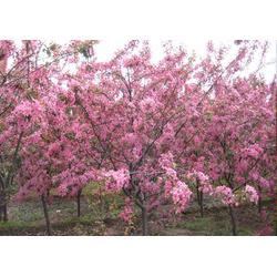 亿发园林,晋中海棠,海棠新品种图片