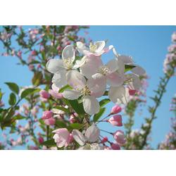 北美海棠、供应北美海棠苗、泰安亿发园林(多图)图片
