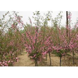 泰安海棠-海棠哪里好-亿发园林图片