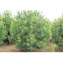 中卫华山松、求购华山松树苗、泰安亿发园林(多图)图片
