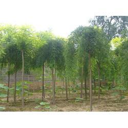 亿发园林,8公分国槐树苗,唐山国槐树苗图片