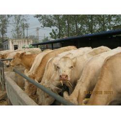 万隆牧业,种牛场,种牛图片