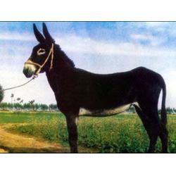 万隆畜牧养殖 养德州驴-重庆德州驴图片