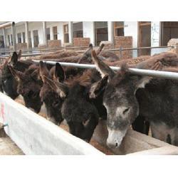 万隆畜牧养殖,陕西肉驴,肉驴养殖场图片