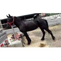 肉马市场-云南肉马-万隆畜牧养殖(多图)图片