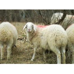小尾寒羊,万隆牧业(在线咨询),小尾寒羊特点图片