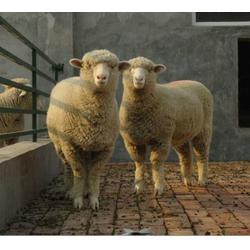 山西肉羊-收肉羊-万隆牧业图片