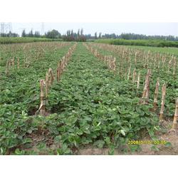 惠州丰香草莓苗-泰安龙泽苗木(优质商家)丰香草莓苗图片