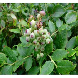 和田地蓝莓苗_泰安市泰山苗木繁育基地_北陆蓝莓苗图片