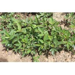 湖北花椒苗、泰山苗木成活率高、花椒苗种植图片