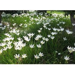 草花基地|黔东南草花|爱萍花卉苗木图片