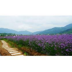潍城马鞭草,马鞭草供应,爱萍花卉苗木(优质商家)图片