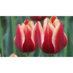 郁金香,郁金香种植,爱萍花卉苗木(推荐商家)图片