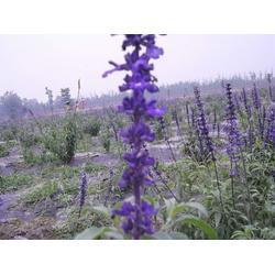 鶴崗馬鞭草-馬鞭草-愛萍花卉苗木(優質商家)圖片