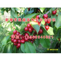 济宁樱桃苗、新泰超越苗木、乌皮樱桃苗图片