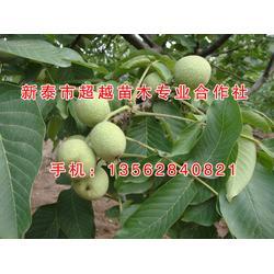 核桃苗|新泰超越苗木(优质商家)|8518核桃苗图片