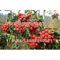 甜红山楂苗-新泰超越苗木(在线咨询)河北甜红山楂苗图片