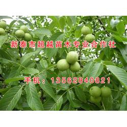 香玲核桃苗-常州核桃苗-新泰超越苗木(查看)图片