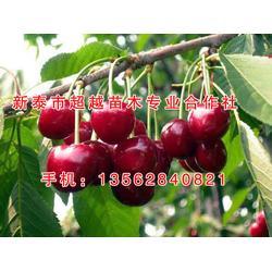 白山樱桃苗,新泰超越苗木,四公分樱桃苗图片