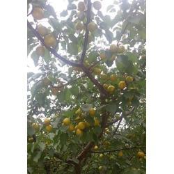 山东珍珠油杏苗,新泰超越苗木,珍珠油杏树苗多少钱图片