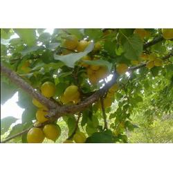 供应珍珠油杏苗-新泰超越苗木-安徽珍珠油杏苗图片