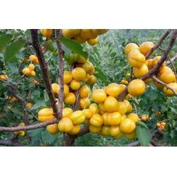 1公分珍珠油杏苗 新泰超越苗木 新疆珍珠油杏苗