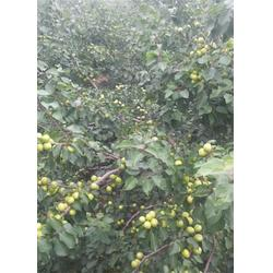 3公分珍珠油杏苗,新泰超越苗木,辽宁珍珠油杏苗图片