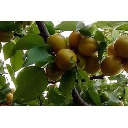 珍珠油杏、珍珠油杏采购、新泰超越苗木(优质商家)图片