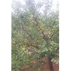 珍珠油杏哪家好|新泰超越苗木|六盘水珍珠油杏图片