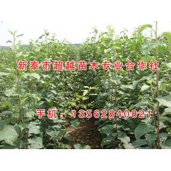 新泰超越苗木(图)_红富士苹果苗新品种_湖北红富士苹果苗图片