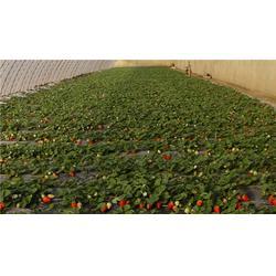 草莓苗,草莓苗,泰山苗木图片