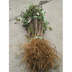花椒苗-泰山苗木繁华茂盛-花椒苗哪里好图片