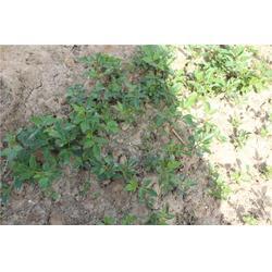 花椒苗,泰山苗木繁华茂盛,花椒苗图片