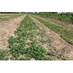 泰山苗木现挖现卖、花椒苗、花椒苗种植图片