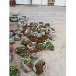龙鑫苗木、新疆甜查理草莓苗、甜查理草莓苗价钱图片