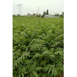 香椿苗|泰安市泰山苗木|香椿苗种植图片