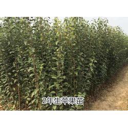 苹果苗种植基地-苹果苗-泰安市泰山苗木繁育基地(查看)图片
