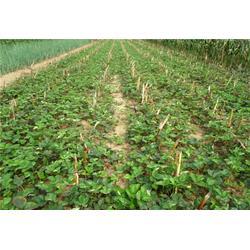 草莓苗-泰山苗木-草莓苗栽培图片