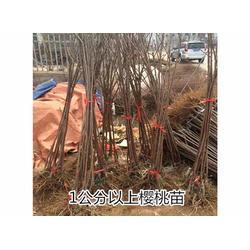 樱桃苗 泰安市泰山苗木繁育基地(在线咨询) 如何培育樱桃苗图片