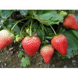 18854848777 草莓苗 甜查理草莓苗种苗图片
