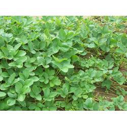 法兰地草莓苗出售、法兰地草莓苗、18854848777图片