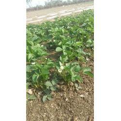 草莓苗,龙泽苗木(在线咨询),优质太空2008草莓苗图片
