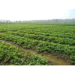 妙香草莓苗、18854848777在线咨询、妙香草莓苗栽培图片