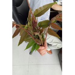 香椿苗|怎样种植香椿苗|泰山苗木贴心服务图片