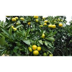 由良柑橘苗、由良柑橘苗哪家好、岗峰农场(优质商家)图片