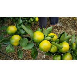 特早熟柑橘_湖南特早熟柑橘种苗_岗峰农场特别化渣图片