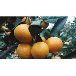 由良特早熟柑橘种苗-岗峰农场——苗木畅销图片